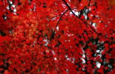 枫叶 火红的枫叶 枫叶背景