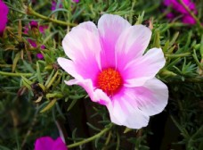 粉色的鲜花